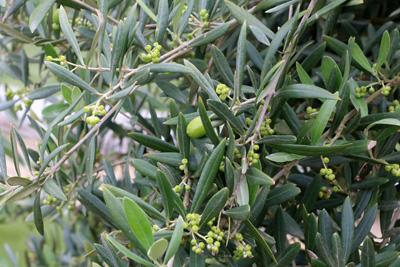 Fabulous Olivenbaum - Pflege-Anleitung, Schneiden und Überwintern IX85
