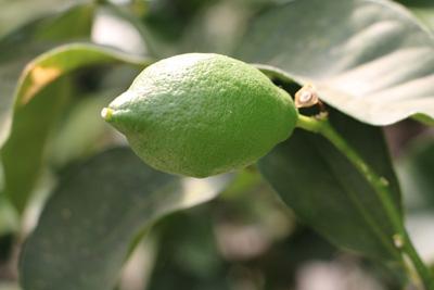 Zitronenbaum Citrus limon