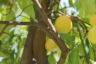Zitronenbaum - Citrus limon Zitruspflanzen