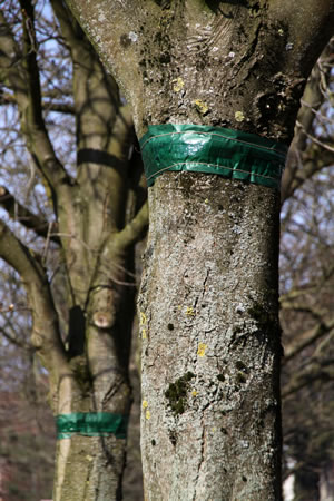 Leimring am Obstbaum