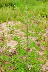 Ambrosia befällt immer häufiger Gärten