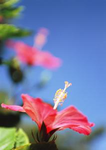 Hibiskus mit Blüte