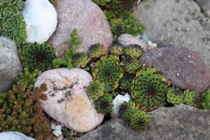 Steingartenpflanzen