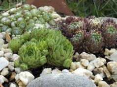 Steingarten-Pflanzen
