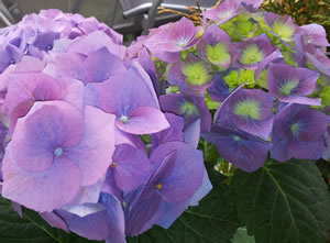 Hortensie blau lila