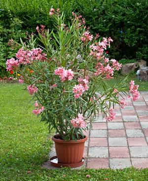 Oleander im Topf