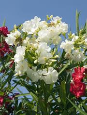 Blühender Oleanderstrauch