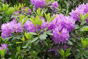 lila Rhododendron