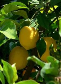 Zirtuspflanzen: der Zitronenbaum