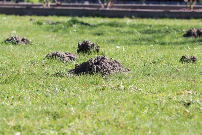 Maulwurfbekämpfung Maulwurf Dauerhaft Vertreiben Gartendialogde