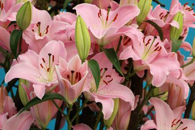 Lilien Pflege Lilie Pflanzen Schneiden überwintern