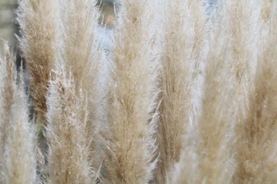 Lieblings Pampasgras - Pflege und Schneiden - Gartendialog.de @YQ_63