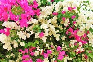 mehrere Farben der Bougainvillea