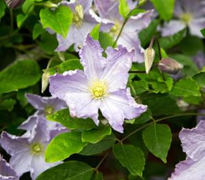 schöne Clematis-Blüte