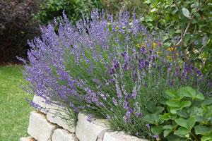 Lavendel im Beet