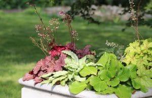 Purpurglöckchen Balkonpflanzen