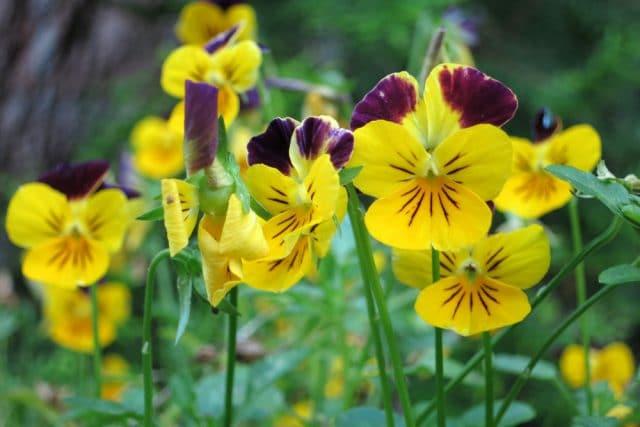 Garten Pflanzen Samen winterharte Zierpflanze Saatgut WILDES STIEFMÜTTERCHEN