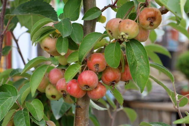 Apfelbaum Pflanzen
