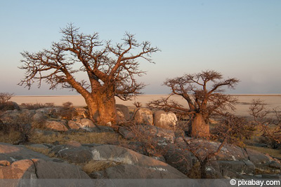 Affenbrotbaum Baobab