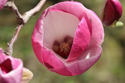 Außergewöhnlich Magnolie - Magnolienbaum - Pflege & Schneiden - Tulpen-Magnolie #YB_56
