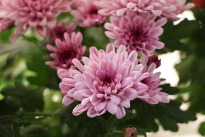 Chrysantheme Chrysanthemum Friedhofspflanzen