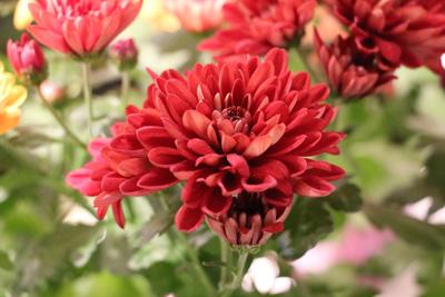 Chrysantheme Chrysanthemum