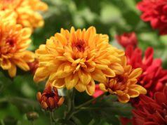 Chrysantheme - Chrysanthemum