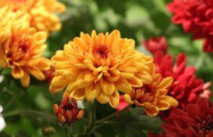 Chrysantheme - Chrysanthemum