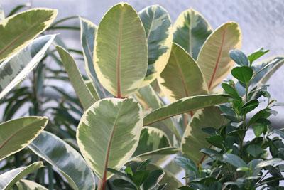 gummibaum steckling