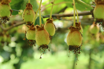 Kiwi Schlingpflanze