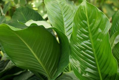 Einblatt Spathiphyllum