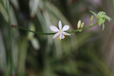 Grünlilie Chlorophytum comosum