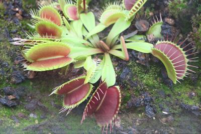 Venusfliegenfalle Dionaea muscipula
