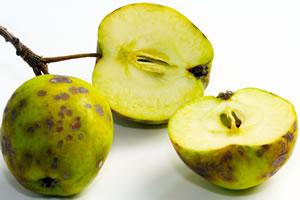 Krankheiten am Apfel