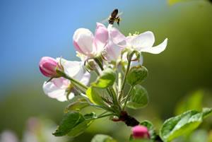 Apfelbaum mit Blüten