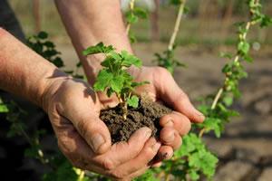 Strauch pflanzen
