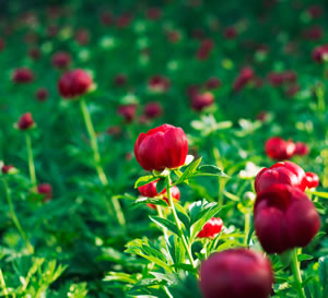 geschlossene Blüten
