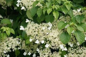 Blüten an Kletter-Hortensie