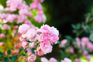 Rosen im Herbst