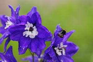 Blüten des Rittersporn