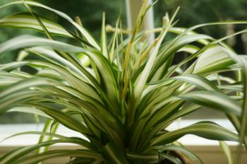 Zimmerpflanze - Grünlilie