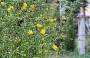 Ranunkelstrauch (Kerria japonica)