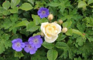 Rosenpflege im Herbst