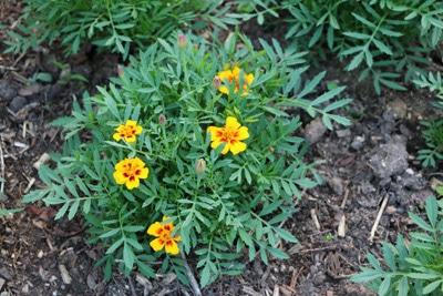 Studentenblume Grabbepflanzung