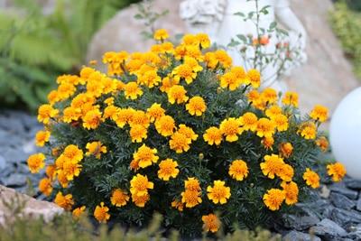 Studentenblume Pflanzen