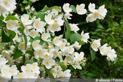 Jasmin-Pflanze, falscher Jasmin
