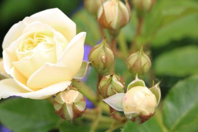 Rosen Kleinstrauchrose, Bodendeckerrose Rosengarten