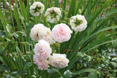 blühende Bodendecker Rose