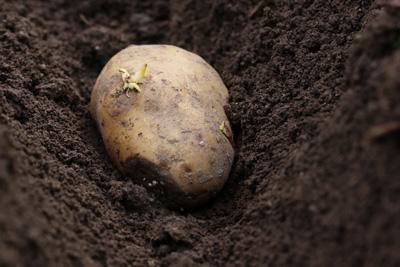 Kartoffelanbau