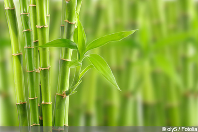 Glücksbambus Lucky Bamboo